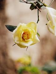 Rose di Dicembre