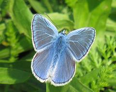 Modraszek ikar - Polyommatus icarus