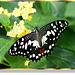 Citrus Swallowtail (Papilio demodocus)  ©UdoSm