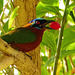 Trinidad Motmot / Momotus bahamensis, Tobago