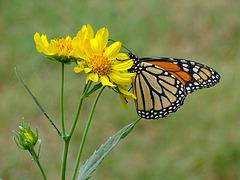 A Surprise Visitor ! ~ Monarch (Danaus plexippus)(f)