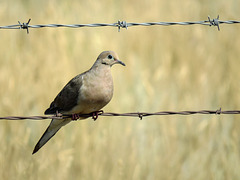 Mourning Dove - love the blue eye-ring