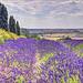 Lavender Field's
