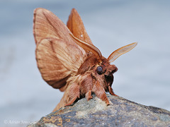 Drinker Moth Male
