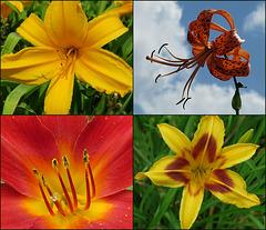 A Lily Is A Lily Is A Lily Is A Lily ....