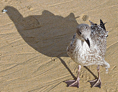 Gull and shadow