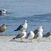 Iceland Gull (formerly Thayer's Gull) juvenile (lower left)
