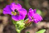kleine Schwebfliege auf Blaukissenblüte