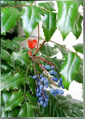Früchte des Stachel-Lorbeer. ©UdoSm