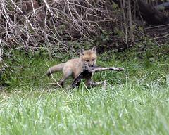 le renard et le lièvre / the fox and the rabbit