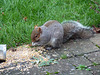 Grey Squirrel Stealing Seeds Meant For Birds
