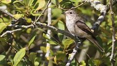 Gobemouche gris - Muscicapa striata - Spotted Flycatcher
