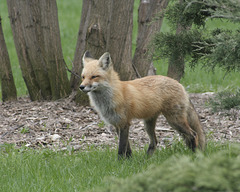 fox / renard