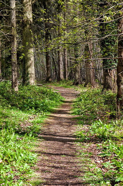 Bluebell Woods 1 - the path