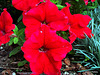 Red Petunia.