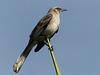 Tropical Mockingbird / Mimus gilvus, Tobago