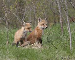 little foxes / renardeaux