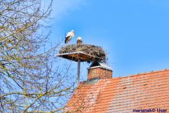 Les cigognes préparent le nid.