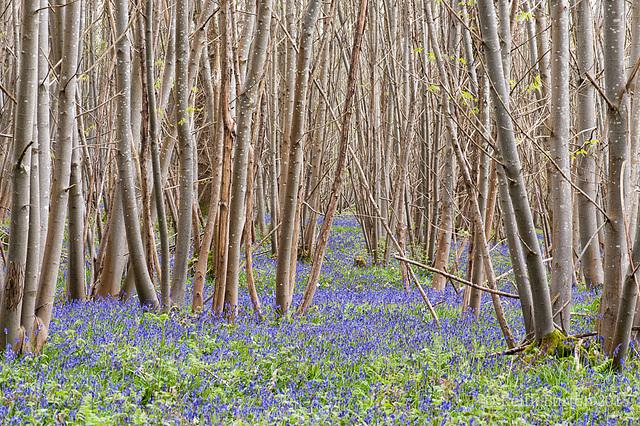 Bluebell Woods 3
