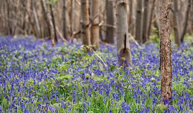 Bluebell Woods 4