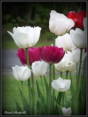 Tulipes (11)
