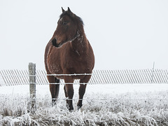 Horse and hoar frost