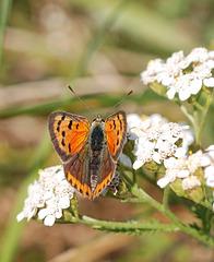 Czerwończyk żarek - Small Copper (Lycaena phlaeas)