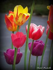 Tulipes (12)