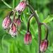 Lis martagon (Lilium martagon) en boutons, Sentier botanique du Bez, Briançonnais (France)