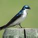 Tree Swallow / Tachycineta bicolor