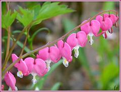 **Quelques petits cœurs; dans mon jardin  **