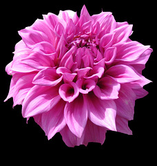 "Dahlia ""Vassio Meggos"" by My Lovely Wife"