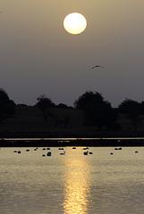 Phoenicopterus roseus, Flamingos, Castro Marim, Dawn poetry