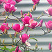 Magnolia On Our Tree.