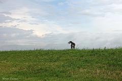 Spanish Galgo in Dutch landscape