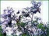 MAHE' : Decine di pipistrelli si appendono a questi alberi