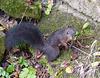 Ecureuil d'Europe  (Sciurus vulgaris)