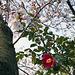 Cherry tree and camellia