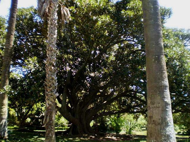 Australian fig tree (Ficus macrophylla).