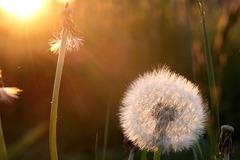 Pusteblume und gepustete Blume