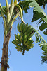 Dominican Republic, A Bunch of Bananas