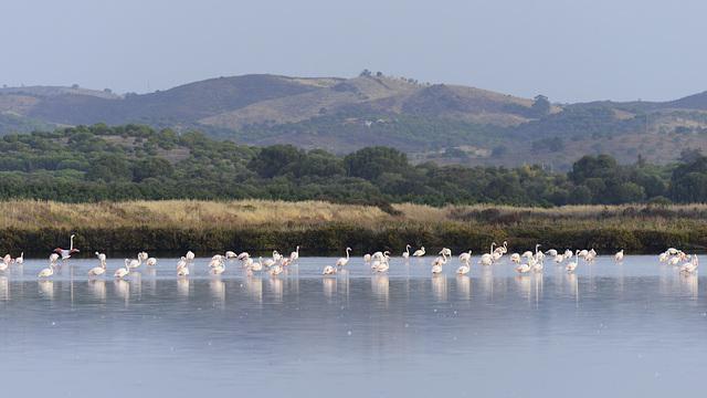 Phoenicopterus roseus, Flamingos, Castro Marim