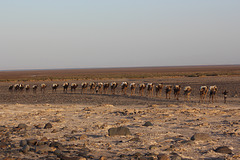 Camel Train Near Harmadela