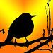 The Blackbird  (on explore)