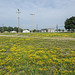 These COMMON BIRD'S-FOOT TREFOIL have imparted an extreme prettification to this vacant industrial land in central Michigan.