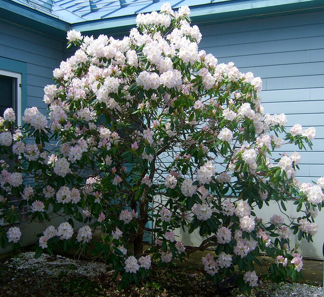 Rhododendrons #2