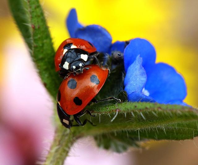 Spring Ladybirds