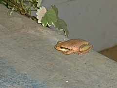 One inch frog