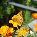Kaisermantel (Argynnis paphia) im Garten