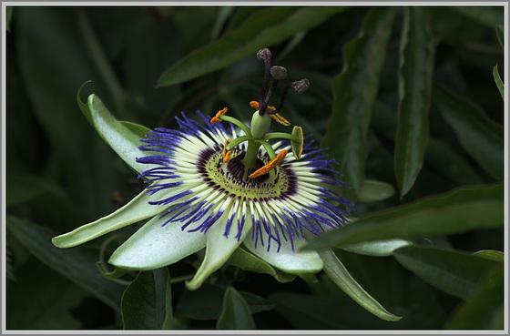 hélène lombard la fleur de la passion pour une magnifique
